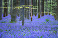 flora, bluebells, blue forest, belgium, halle, hellebros, hyacinth, spring, wildflowers, trees, dreams, dreamy, mood, europe, forest, predawn, sunrise, woods, belgium, brussels