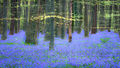 flora, bluebells, blue forest, belgium, halle, hellebros, hyacinth, spring, wildflowers, trees, dreams, dreamy, mood, europe, forest, predawn, sunrise, woods