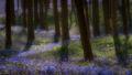 flora, bluebells, blue forest, belgium, halle, hellebros, hyacinth, spring, wildflowers, trees, dreams, dreamy, mood, europe, forest, predawn, sunrise, woods, belgium, brussels
