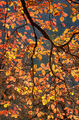 yosemite, national, park, sierra, valley, merced, river, dogwood, fall, colors, leaves, leafs, mountains, trees, water, flora, california, ca
