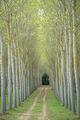 italy, europe, tuscany, pisa, flora, trees, poplar