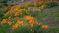 coast, pacific, valley, california, ca, big sur, wildflowers, central coast