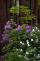 redwoods national park, redwoods, ca, california, flora, trees, jedediah smith, rhododendrons, rhodes, fog