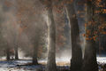 yosemite national park, yosemite, ca, california, trees, black oak, meadow, el capitan, flora, leaves, el capitan meadow, fog, steam, sunrise, morning