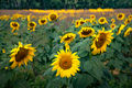 italy, europe, tuscany, pisa, flora, sunflowers,