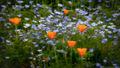 wildflowers, spring, flowers, poppy, poppies, ca, california, flora,