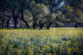 texas, tx, wildflowers, blue bonnets, indian paint brush, texas hill country, flora, lupine, flora, oaks, spring, mustard, larch, fredericksburg