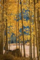 aspens, lee, vining, creek, sierra, ca, fall, california, eastern, trees