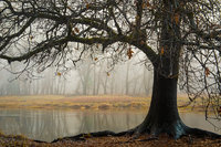black oaks, black, oaks, fog, yosemite, ca, california, sierra, mountains, water, trees, winter, fall, merced, river,