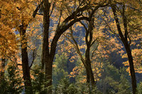 black oaks, black, oaks, fog, yosemite, ca, california, sierra, mountains, water, cooks, meadow, trees, winter, fall