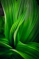 mt rainier, corn lily, northwest, pacific, plants