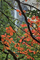 dogwoods, trees, bridalveil, water, waterfall, valley view, ca, calorfrnia, fall, fall color