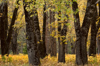 Yosemite Valley, yosemite, valley, ca, california, sierra, mountains, trees, black oak, black, oaks, valley view, fall, colors, el capitan, meadow, storm