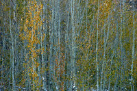 eastern sierra, sierra, aspens, fall, fall color, ca, california, trees, storm, winter, sunrise, bishop, north, lake, mountains