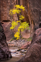 trees, fall, fall color, zion, mountains, utah, ut, southwest, cottonwood, water, virgin, river, narrows,
