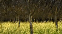 mustard, orchard, impressions, california, plants, grasses, trees, movement, northern california, ca