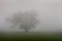 fog, santa barbara, live, oak, ca, california, coast