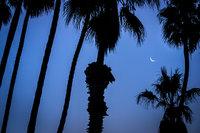 palms, sunrise, santa barbara, trees, coast, ca, california, beach, pacific, moon, moonrise