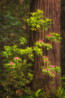 redwoods, trees, jedediah smith, ca, california, rhododendrons, rhodies, forest, fog, sunrise