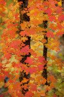 fall colors, fall, trees, maples, southwest, west fork, sedona, arizona, az, red rock