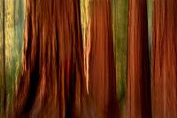 yosemite, mariposa grove, sequoia, mountains, sierra, trees, impressions, movement, northern california, california, ca