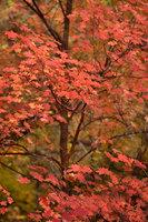 trees, fall, fall color, zion, mountains, utah, ut, southwest