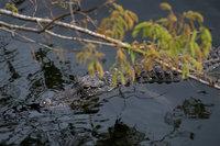 everglades, florida, fl, national, park, water, sunset, alligators, wetlands