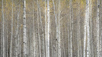 fall colors, fall, aspens, trees, mountains, wy, wyoming, wind river, winds, rockies