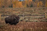 mountains, Wyoming, wy, Tetons, Grand Teton Park, landscape, Fall, trees, aspens, fall color, jackson, wildlife, buffalo