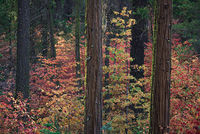 Yosemite, Sierra, mountains, yosemite valley, fall, fall color, fall, dogwoods,  wildlife, flora,