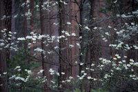 yosemite, national park, park, trees, dogwood, sierra, california, ca, spring