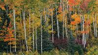 Rocky Mountains, San Juan mountains, rockies, san juans, fall, autumn, color, trees, aspen, pine, fir, colorado, co, owl creek, rainbow, ridgway