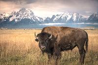 grand teton national park, tetons, snake river, snake, river, mountains, trees, water, color, aspens, sunset, moon, clouds, bison, birds, buffalo, wildlife