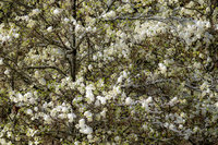 yosemite, national park, park, trees, dogwood, sierra, california, ca, spring, dogwood, winter, snow