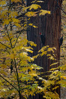 yosemite, national park, sierra, valley, fall, trees, merced, flora, mountains, leaves, ca, colors, dogwoods, merced river, merced, maples, wildlife, woodpecker, fauna