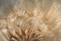california, ca, flora, plants, salsify, arastadero