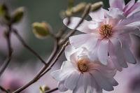 spring, bloom, magnolia, garden, plants, flora, california, northern california, ca, macro