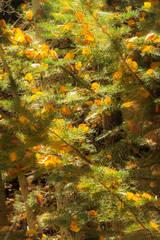 aspens, pines, trees, lee, vining, creek, sierra, ca, fall, california, eastern