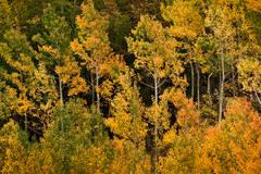 aspens, south lake, fall, eastern sierra, sierra, ca, california