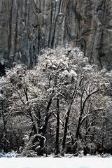black oaks, black, oaks, fog, yosemite, ca, california, sierra, mountains, water, el capitan, meadow, trees, winter, snow, landscape, atmospherics,