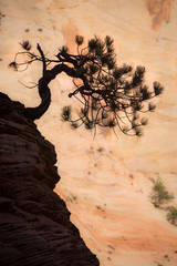 trees, fall, fall color, zion, mountains, utah, ut, southwest, bonsai, pine, pinion