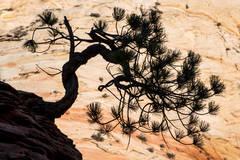 pinion, pine, bosnsai, zion, mountains, southwest, desert, ut, utah, trees