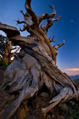 bristlecone, pines, big pine, ca, california, bristlecone pine reserve, forest, sierra, eastern, trees, sunset, moonset,  schulman grove