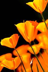 santa, barbara, wildflowers, figueroa, poppies, lupine, ca, california