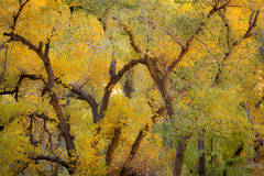 trees, fall, fall color, zion, mountains, utah, ut, southwest,  cottonwoods