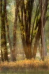 Black Oak El Capitan Meadow