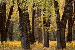 Yosemite Valley, yosemite, valley, ca, california, sierra, mountains, trees, black oak, black, oaks, valley view, fall, colors, el capitan, meadow, storm