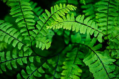 ferns, jedediah smith, ca, california, rhododendrons, rhodies, forest, fog, sunrise