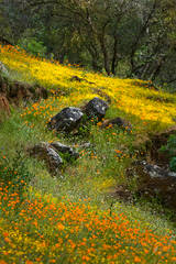 wildflowers, poppies, savages, ca, california, hite, cove, merced, river, canyon, spring