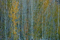 eastern sierra, sierra, aspens, fall, fall color, ca, california, trees, storm, winter, sunrise, bishop, north, lake, mountains